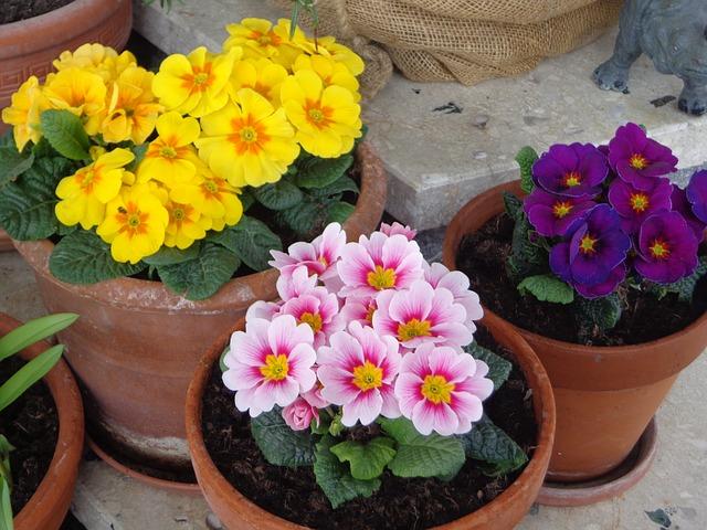 Violetas no feng Shui