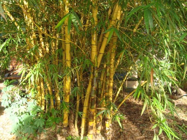 Ritual do Dinheiro Urgente - Ritual do bambu